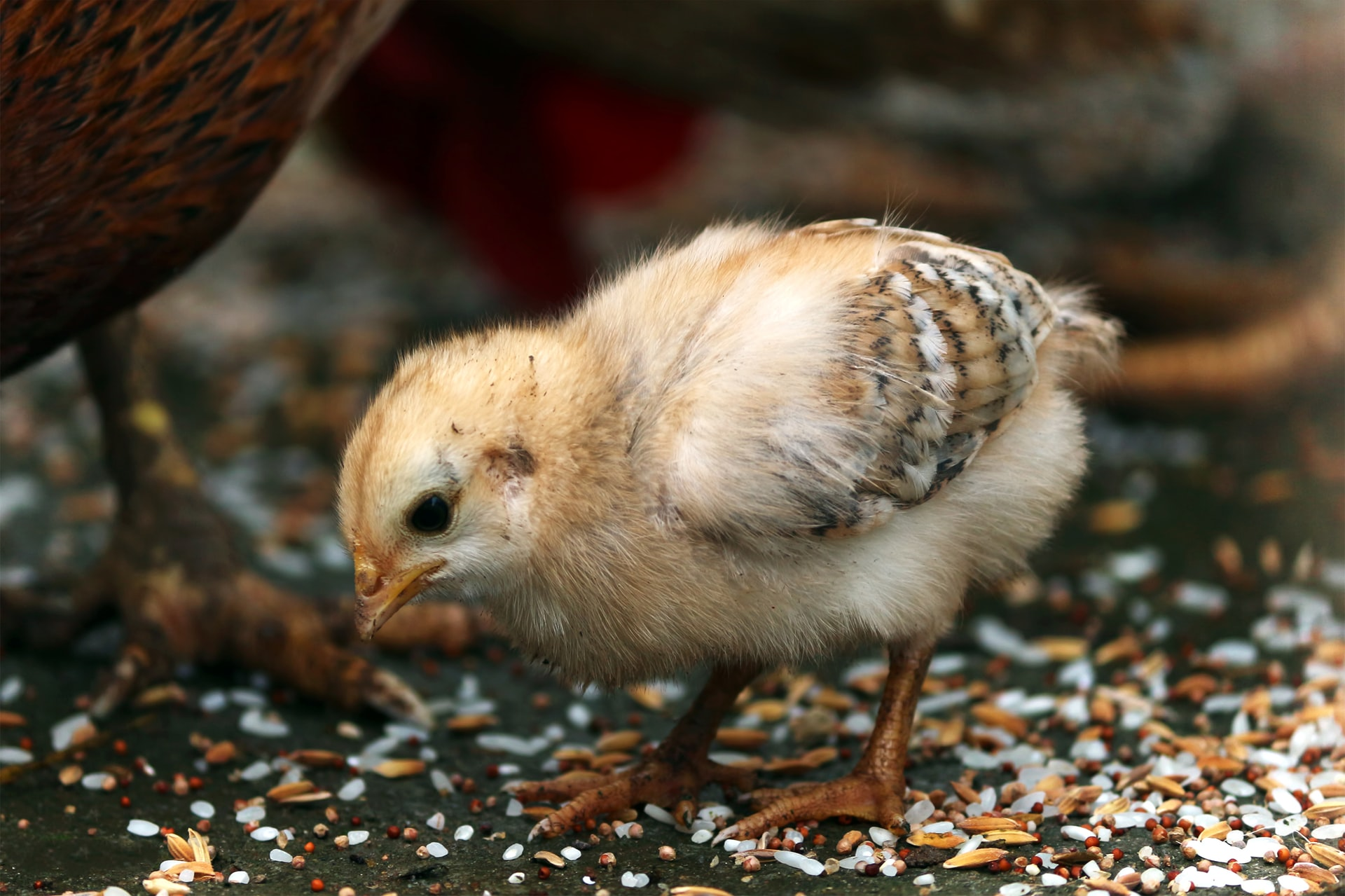 a fuzzy baby chick